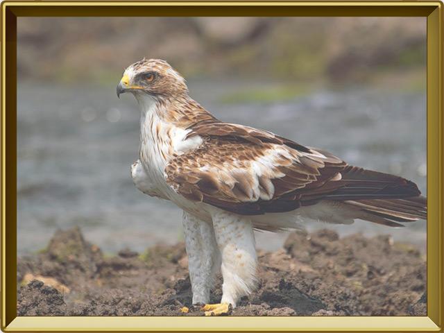 Орёл-карлик — птица, фото в рамке №2