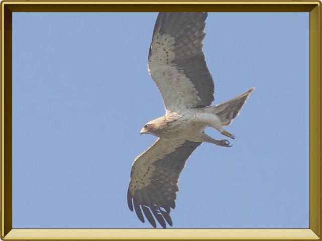 Орёл-карлик — птица, фото в рамке №3
