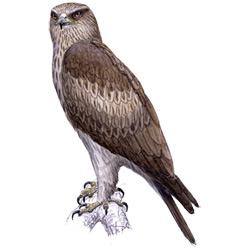 Орёл-карлик — птица, картинка цветная