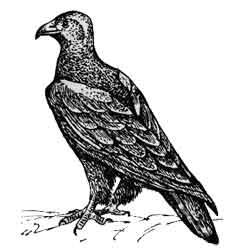 Орёл-могильник — птица, картинка чёрно-белая