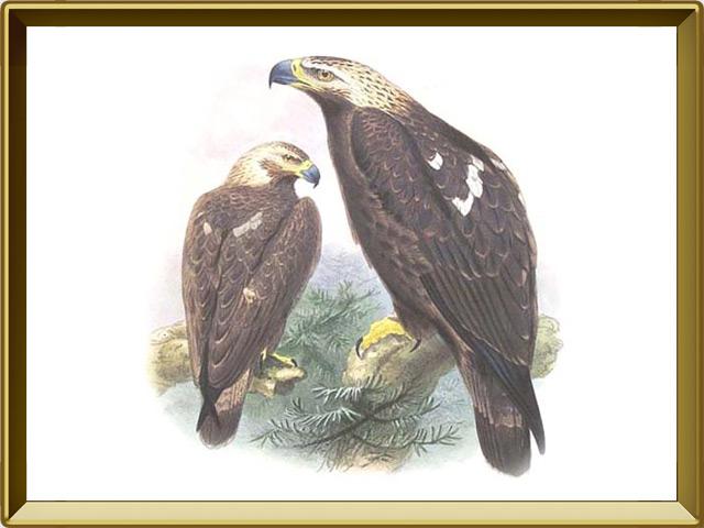 Орёл-могильник — птица, фото в рамке №1