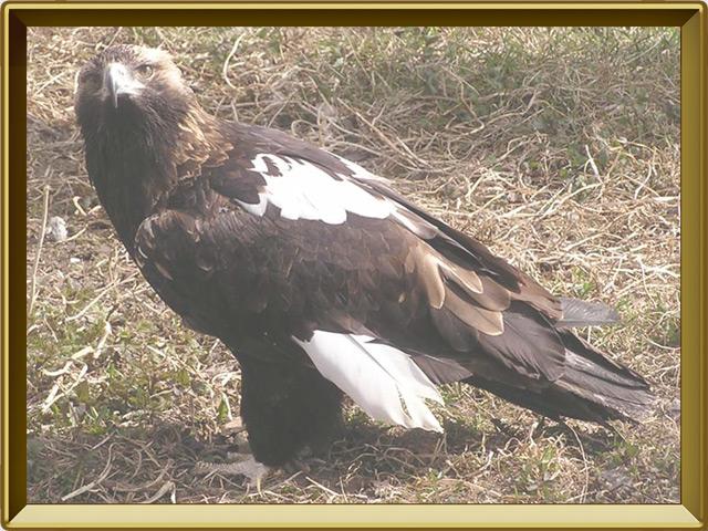 Орёл-могильник — птица, фото в рамке №2