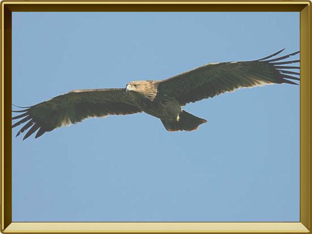 Орёл-могильник — птица, фото в рамке №3