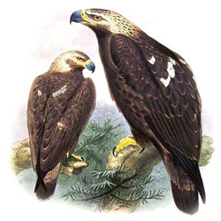 Орёл-могильник — птица, картинка цветная