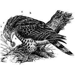 Осоед — птица, картинка чёрно-белая