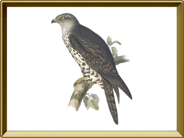 Осоед — птица, фото в рамке №1