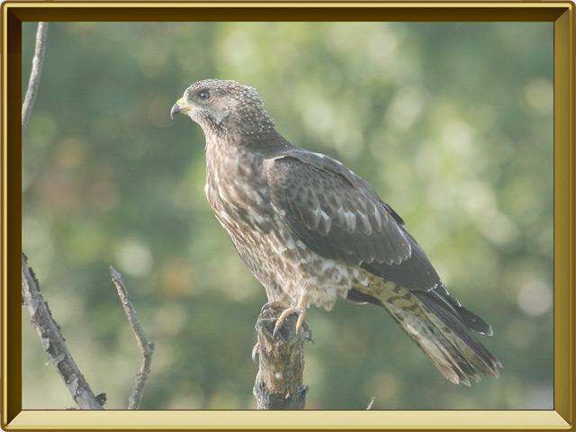 Осоед — птица, фото в рамке №2