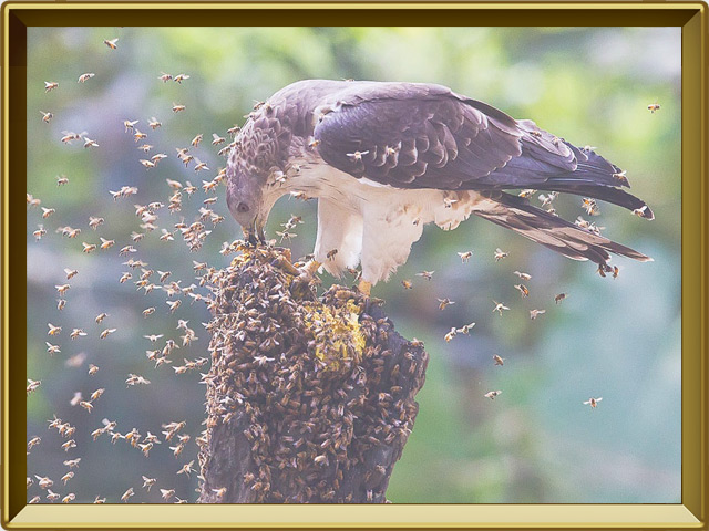 Осоед — птица, фото в рамке №3