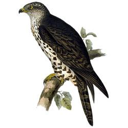 Осоед — птица, картинка цветная