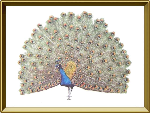 Павлин — птица, фото в рамке №1