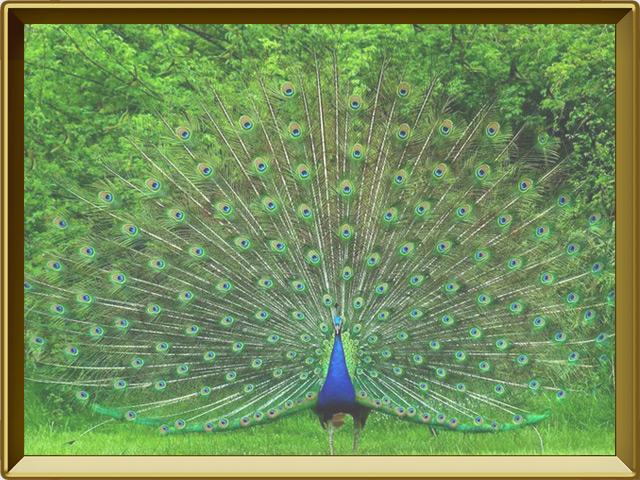 Павлин — птица, фото в рамке №2