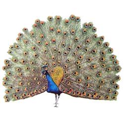 Павлин — птица, картинка цветная