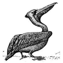 Пеликан — птица, картинка чёрно-белая