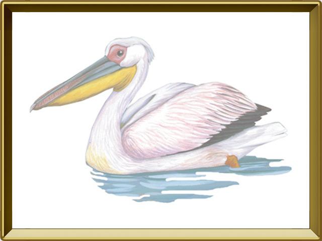 Пеликан — птица, фото в рамке №1