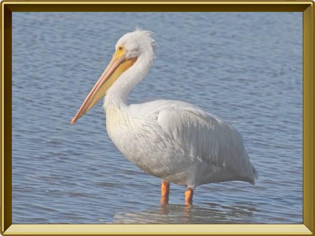 Пеликан — птица, фото в рамке №2