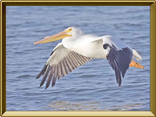 Пеликан — птица, фото в рамке №3