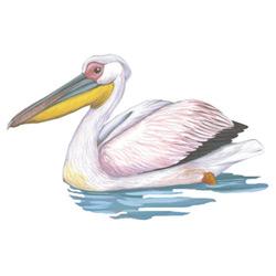 Пеликан — птица, картинка цветная