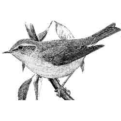 Пеночка — птица, картинка чёрно-белая