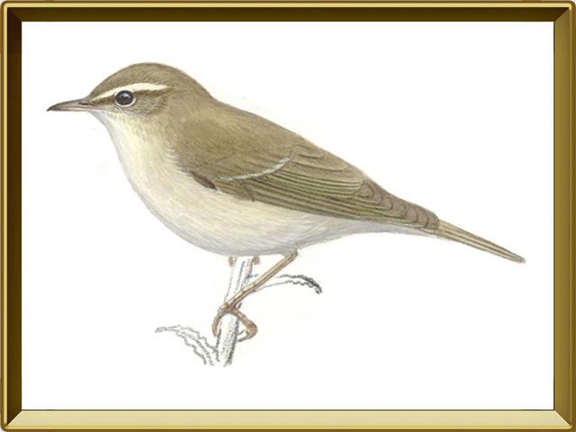 Пеночка — птица, фото в рамке №1