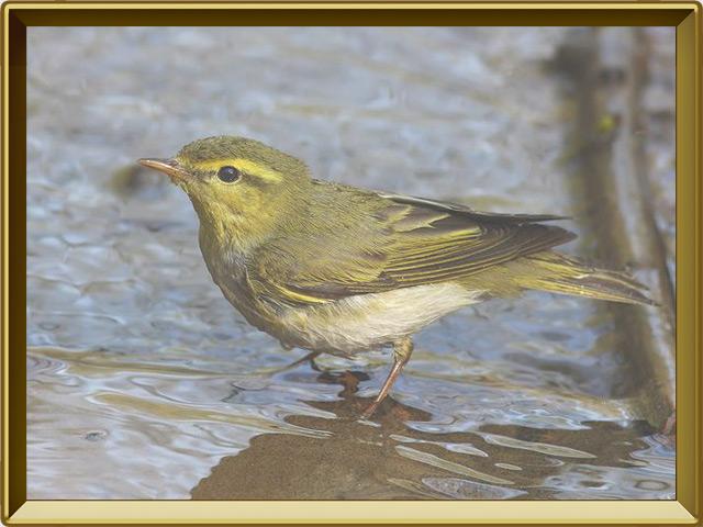 Пеночка — птица, фото в рамке №2
