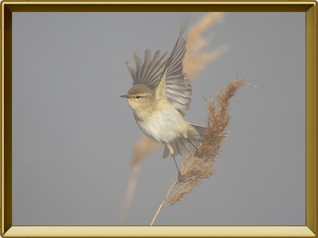 Пеночка — птица, фото в рамке №3