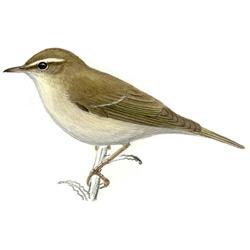 Пеночка — птица, картинка цветная