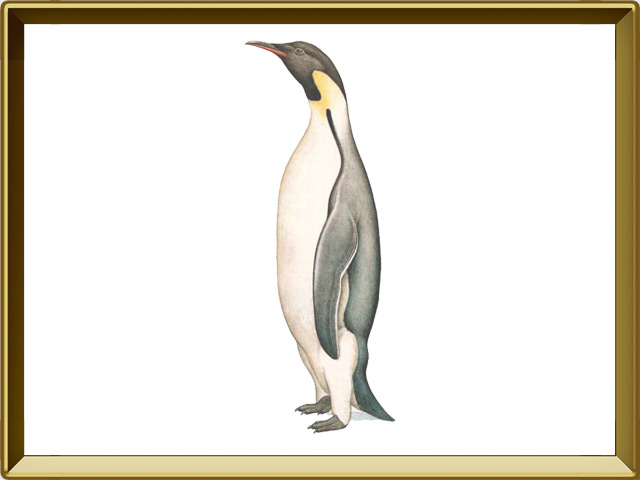 Пингвин — птица, фото в рамке №1