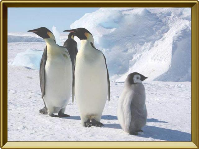 Пингвин — птица, фото в рамке №2