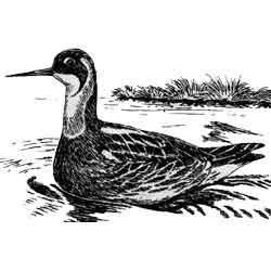 Плавунчик — птица, картинка чёрно-белая