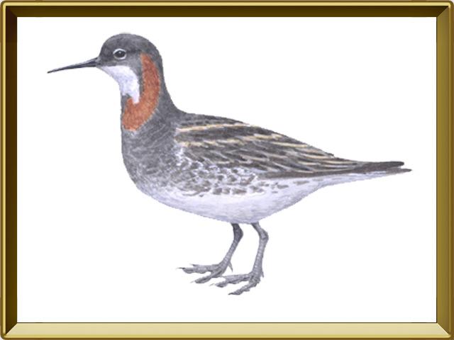 Плавунчик — птица, фото в рамке №1