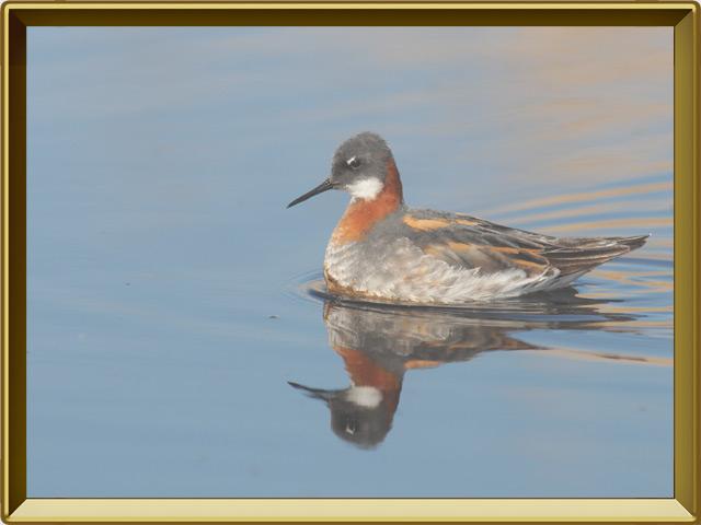 Плавунчик — птица, фото в рамке №2