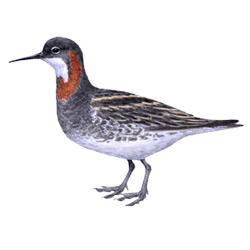 Плавунчик — птица, картинка цветная