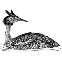 Поганка — птица, картинка чёрно-белая