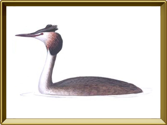 Поганка — птица, фото в рамке №1