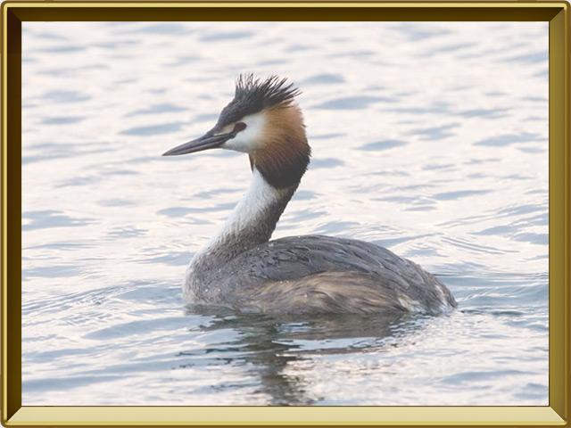 Поганка — птица, фото в рамке №2
