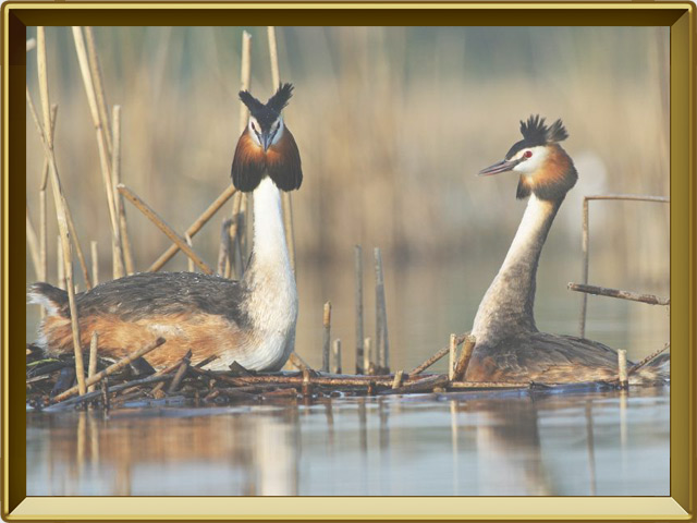 Поганка — птица, фото в рамке №3