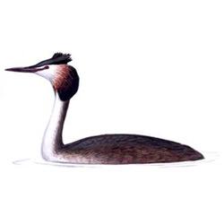 Поганка — птица, картинка цветная