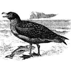 Поморник — птица, картинка чёрно-белая