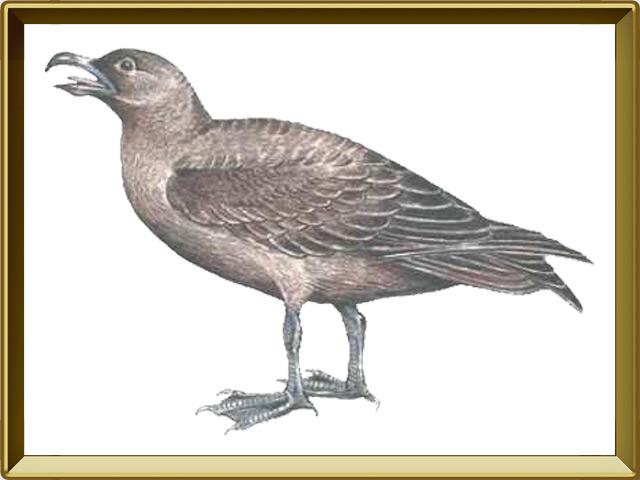 Поморник — птица, фото в рамке №1