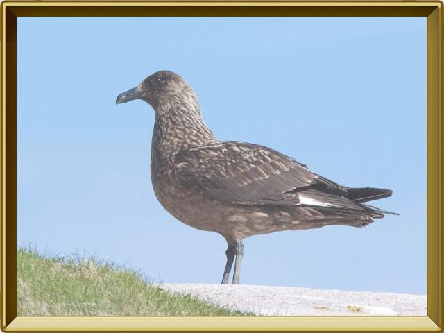 Поморник — птица, фото в рамке №2