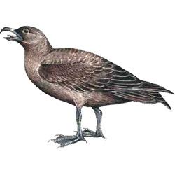 Поморник — птица, картинка цветная