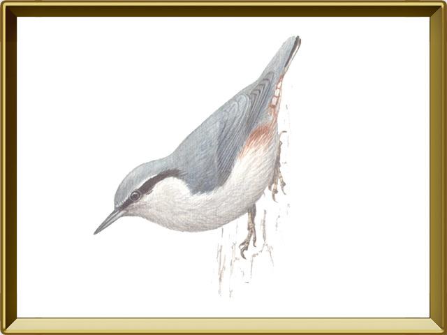 Поползень — птица, фото в рамке №1