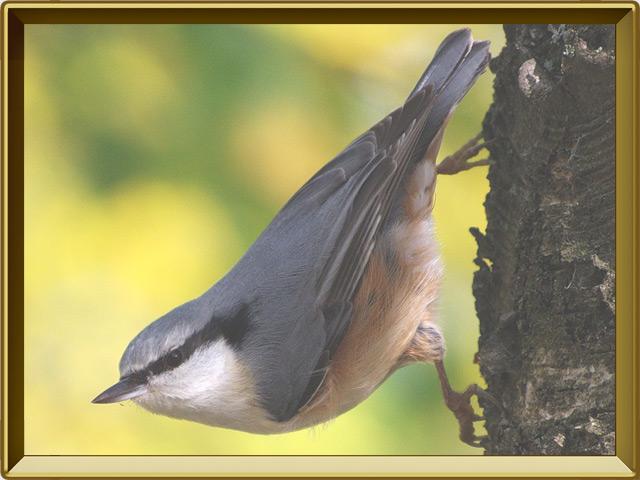 Поползень — птица, фото в рамке №2