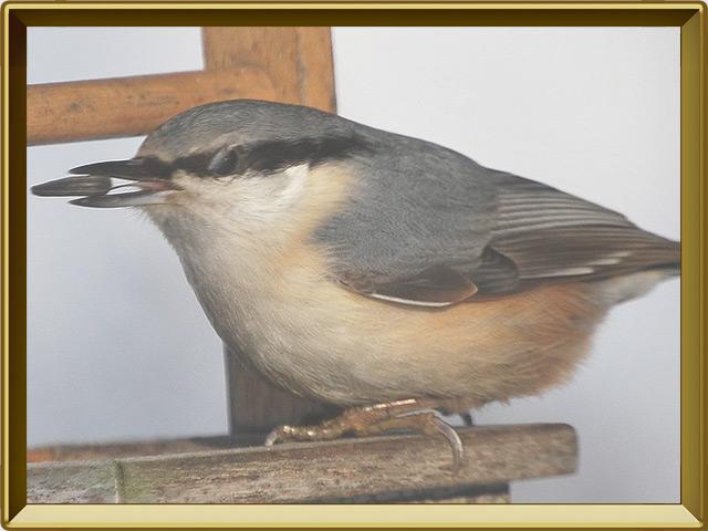 Поползень — птица, фото в рамке №3