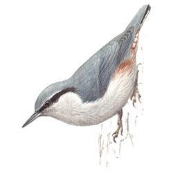 Поползень — птица, картинка цветная