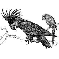 Попугай — птица, картинка чёрно-белая