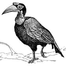 Птица-носорог — птица, картинка чёрно-белая