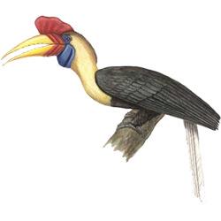 Птица-носорог — птица, картинка цветная
