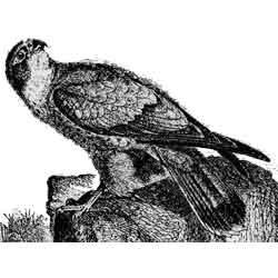 Пустельга — птица, картинка чёрно-белая