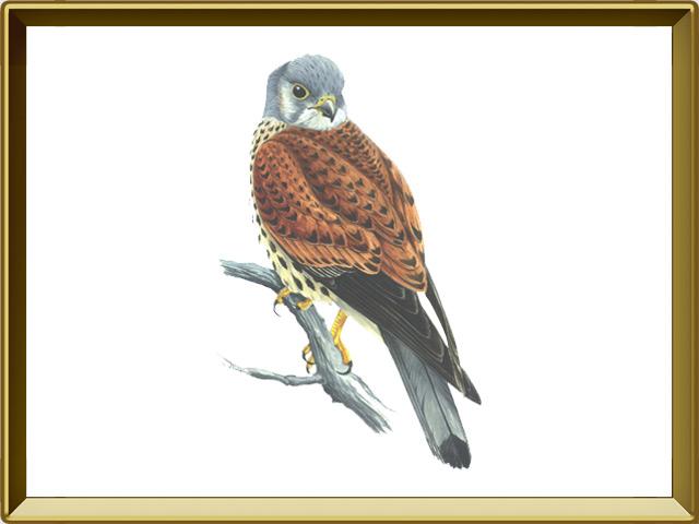 Пустельга — птица, фото в рамке №1